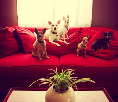 Group of chihuahua dogs on couch