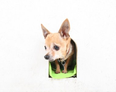 Chihuahua in a dog house