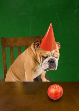 Bulldog with a dunce hat