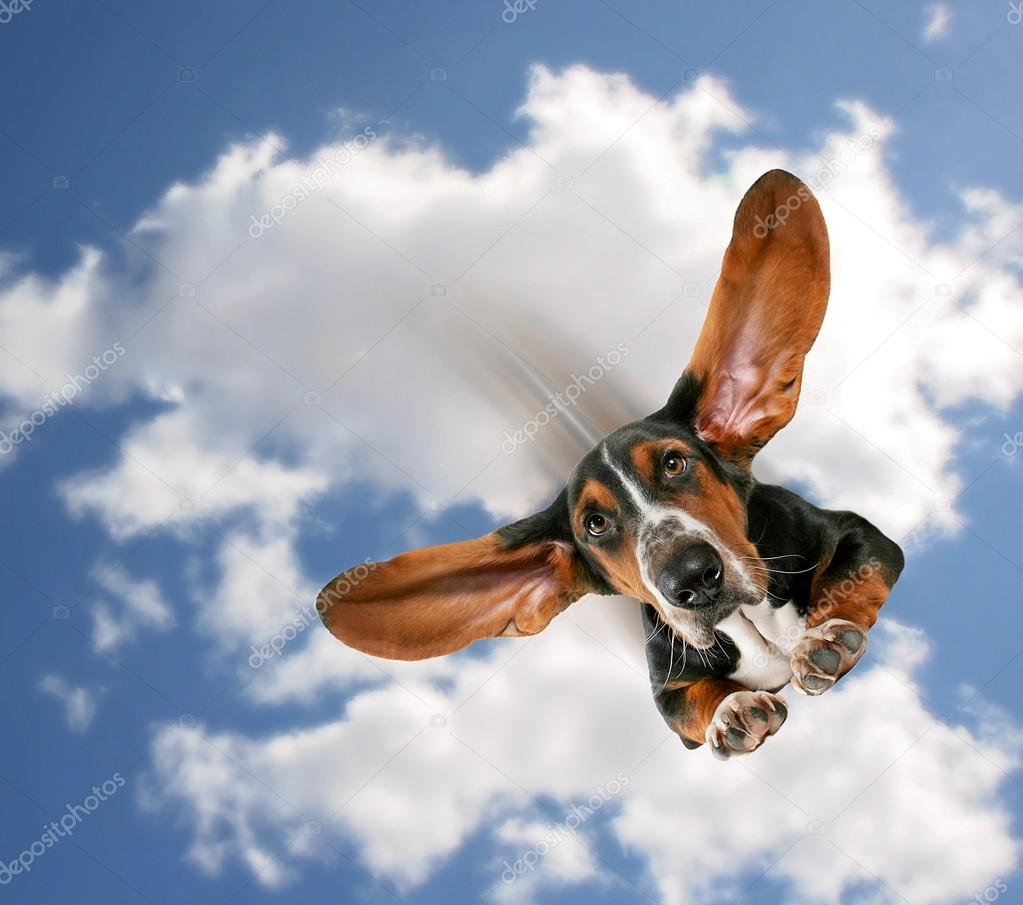 Basset hound flying through air
