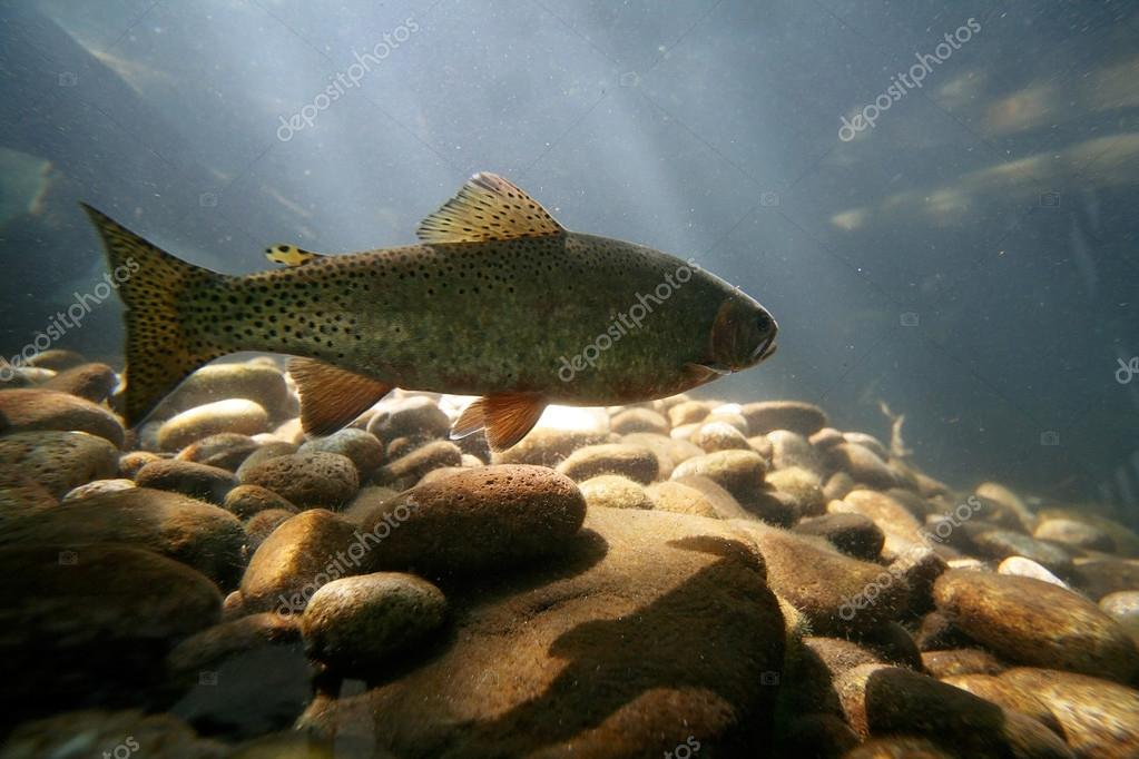 Trout fish swimming