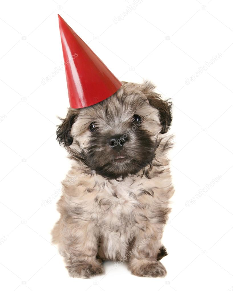 Small Puppy With Birthday Hat Stock Photo