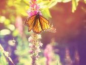 Monarch butterfly, lila virágok