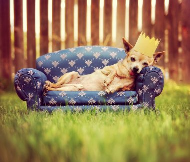 Cute chihuahua with crown on couch
