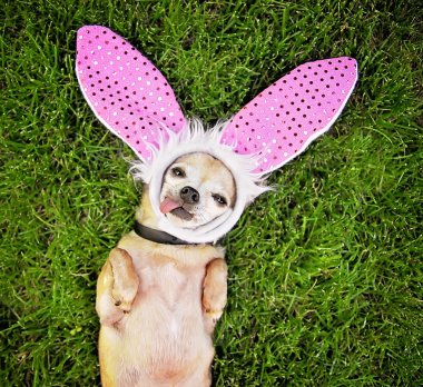 Chihuahua laying with bunny ears on