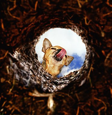 Dog peeking into dirt hole in ground