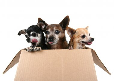 Three chihuahuas in cardboard box