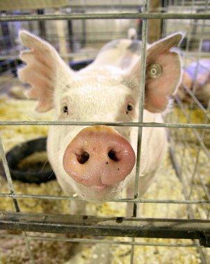 Pig at local fair