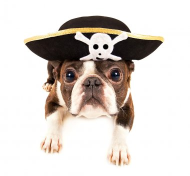 Boston terrier dog dressed a pirate