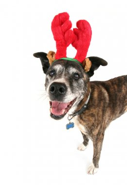 Pit bull with reindeer horns