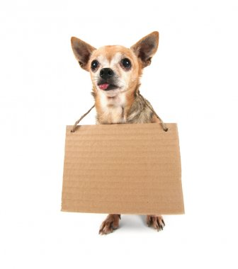 Chihuahua holding sign