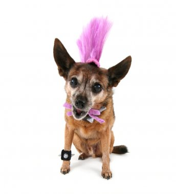 Chihuahua with mohawk punker hairdo