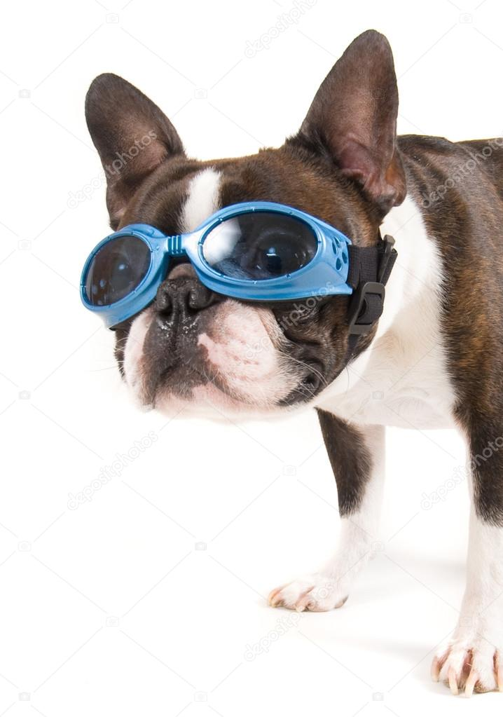 Boston terrier with goggles