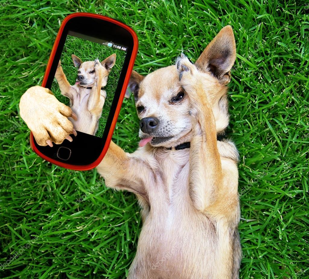 Cute chihuahua taking selfie