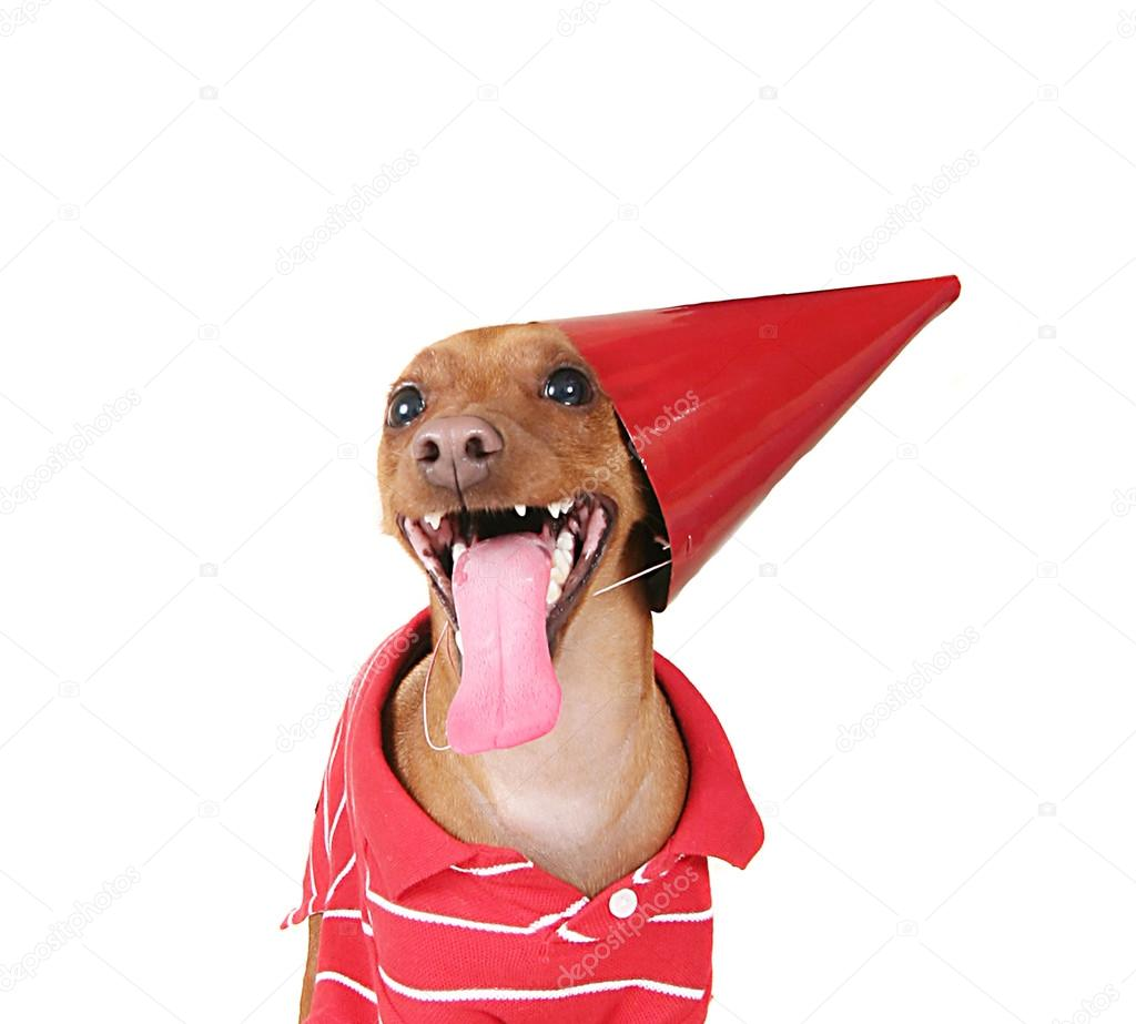 dog with birthday hat on stock photo graphicphoto 53624519