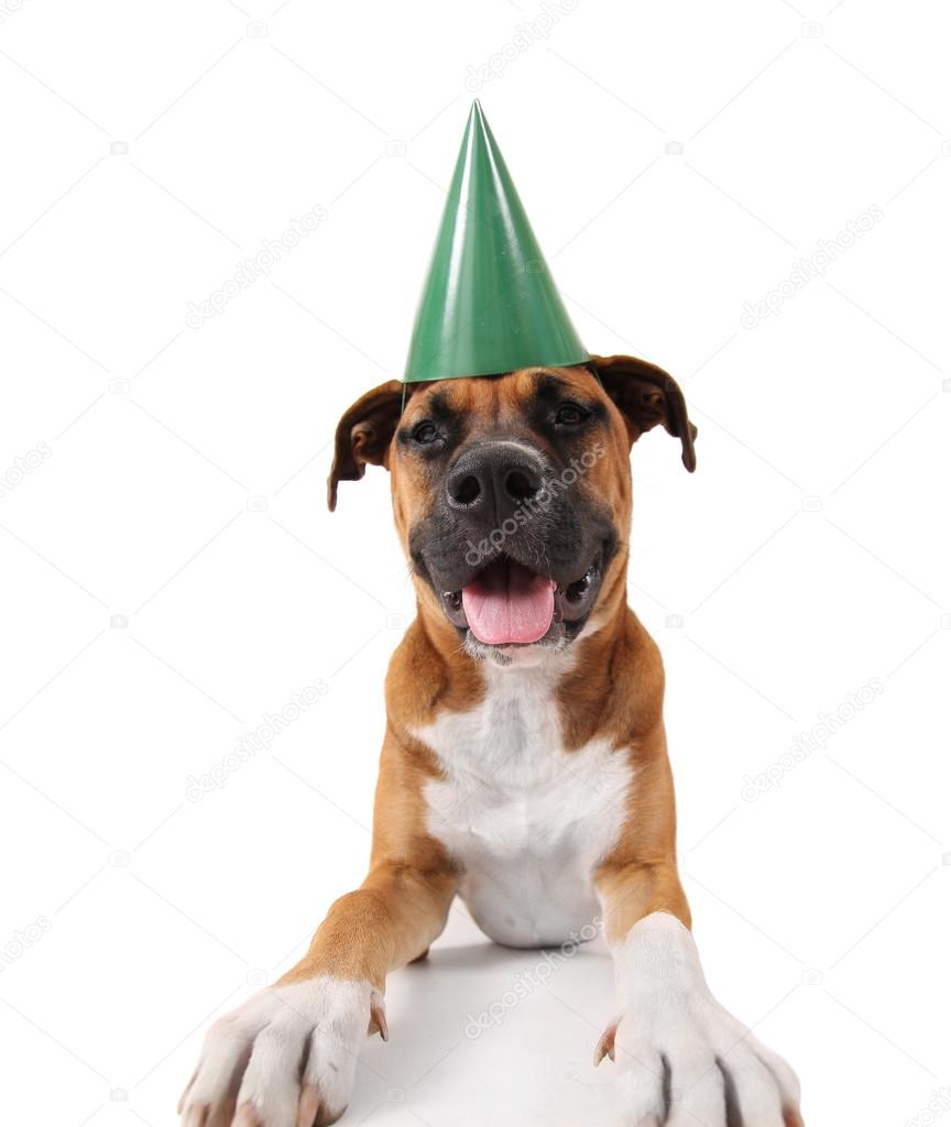 pit bull boxer mix dog with birthday hat stock photo