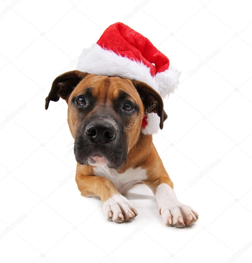 Pit bull boxer mix dog with christmas hat — Stock Photo ...