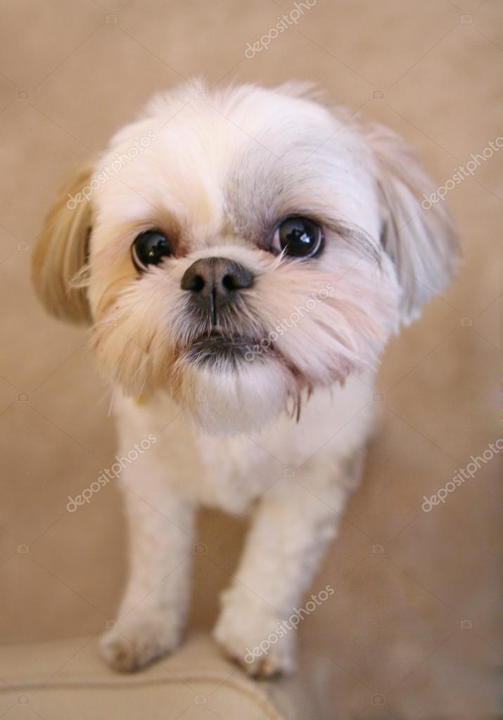 Cute Shih Tzu Stock Photo Graphicphoto 53626225