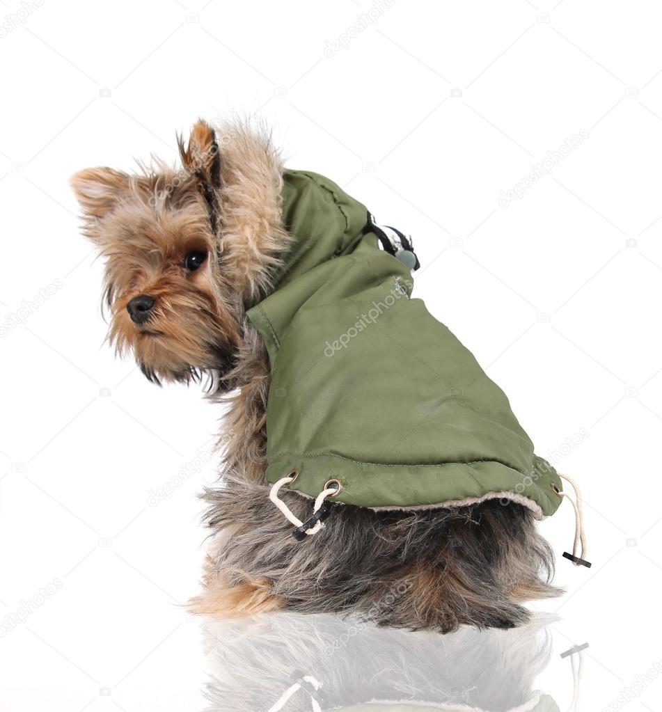 Yorkshire con abrigo