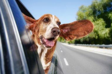 Basset hound riding in car