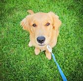 Fotografie zlatý retrívr štěně
