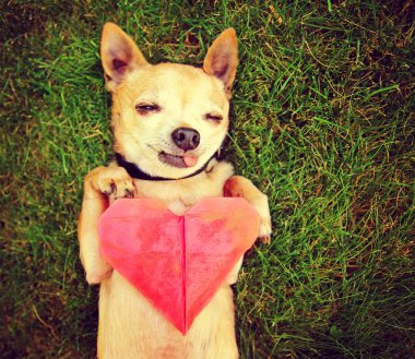 Chihuahua holding origami paper heart