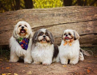 Three white mixed breed dogs