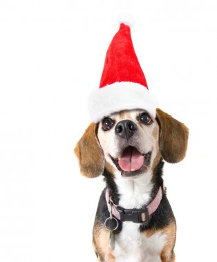 Cute beagle with santa hat