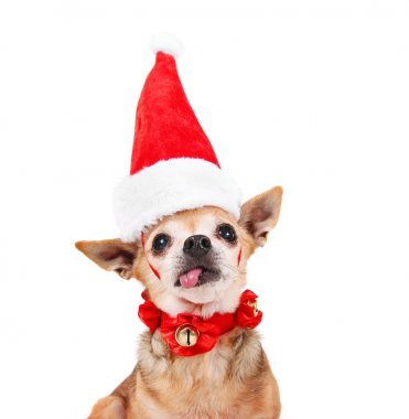 Chihuahua dressed in a christmas outfit