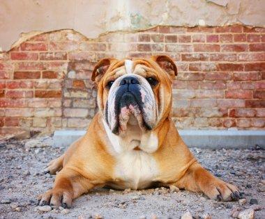 Bulldog with a brick wall