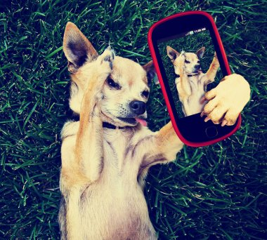 Chihuahua in grass taking selfie