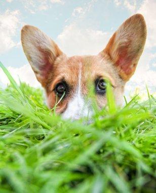 Corgi dog hiding in grass