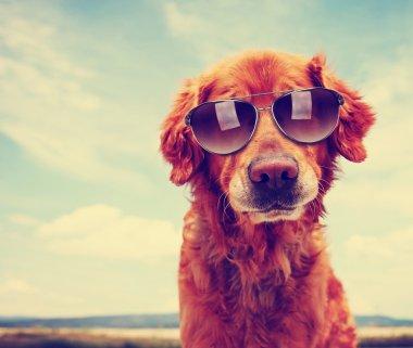 Golden retriever with sunglasses
