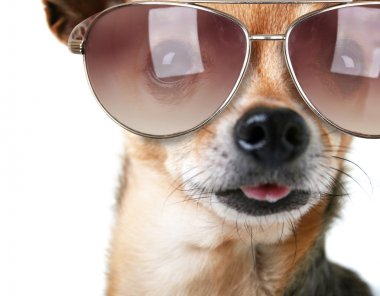 Chihuahua with sunglasses