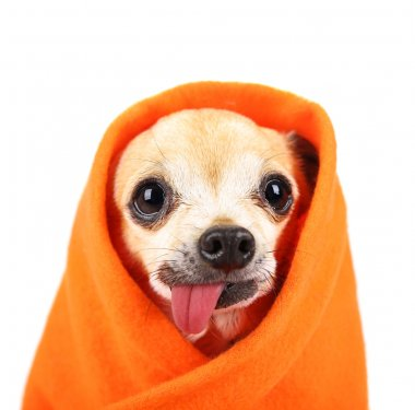a cute chihuahua eith his tongue hanging out and a blanket wrapp