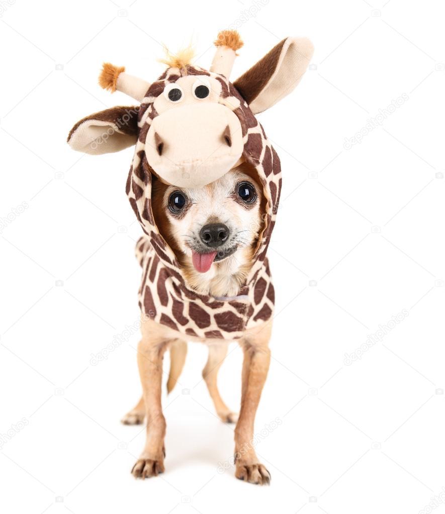 a cute chihuahua in a giraffe costume