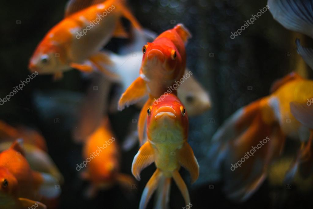 Gold Fish in aquarium.