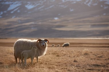 Icelandic sheep and lamb standing in a field