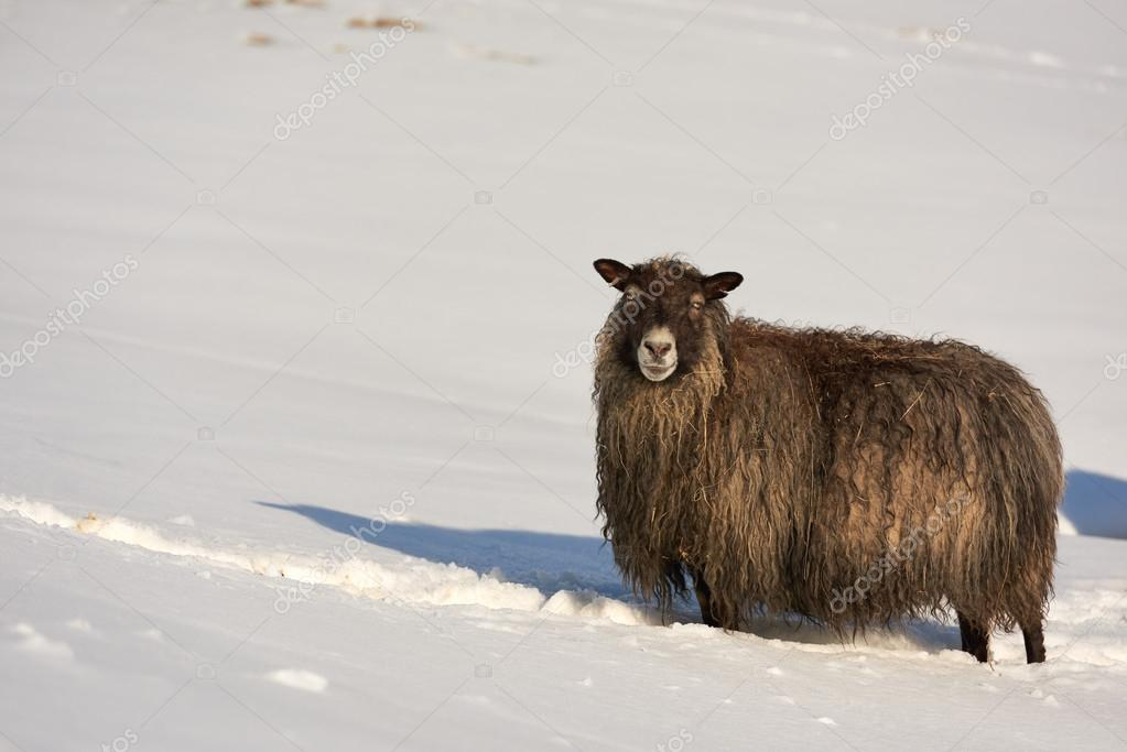 iceland sheep in snow