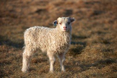 Cute Icelandic lamb standing in a field