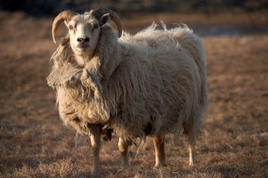 portrait of an Icelandic sheep ram