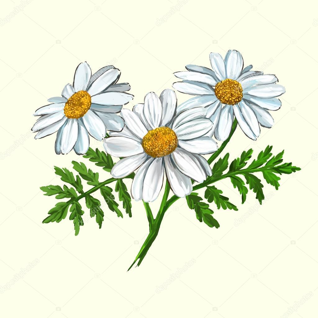 daisy vector illustration  hand drawn  painted