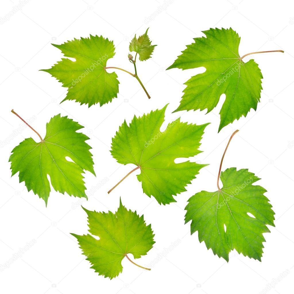 fresh grape leaves