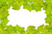 Hranice čerstvé hroznové listy