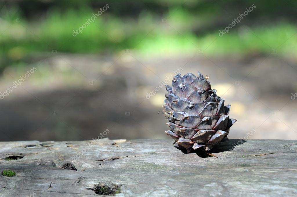 cedar pine cone on a fallen tree trunk in the siberian taiga food