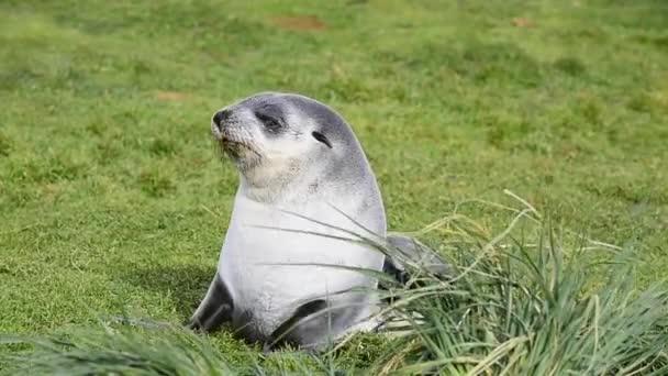 mladý kožešina seal pup