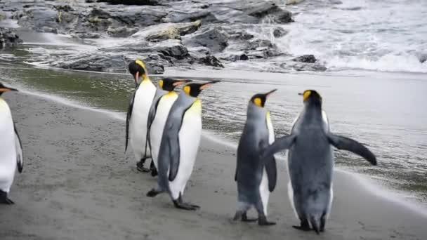 Király pingvinek a parton