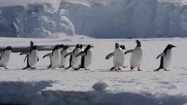 Gentoo pingvin a jégen