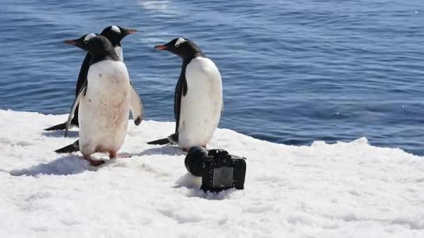 Pinguino di Gentoo con fotocamera