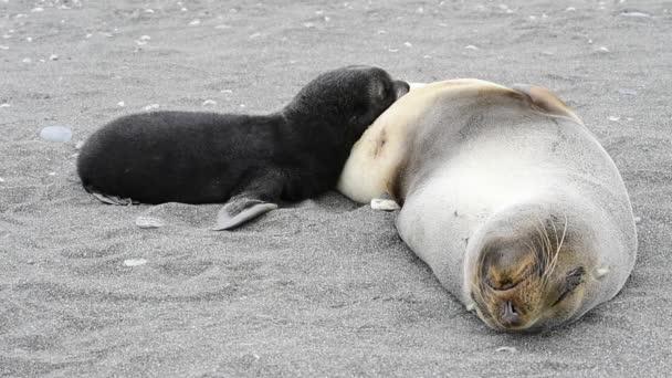 Tuleňů mladé štěně s maminkou